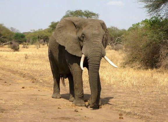 Elephant visual